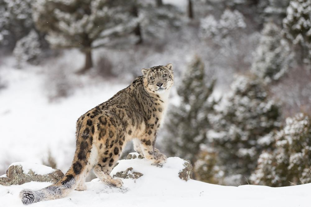 Everything there is to know about the snow leopard, Kyrgyzstan's sacred animal